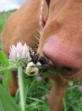 Собаку укусила оса, пчела, шершень, шмель