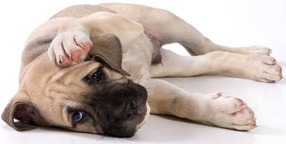 Хейлетиоз у собак