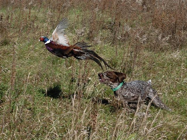 СНГ как добыть фазана без собаки Воды: отдых