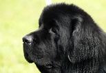 Собаки большой породы